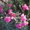 virág 001 Rózsaszínű szegfűm