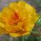virág 011 Porcsinrózsa