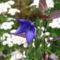 virág 012 Léggömbvirág