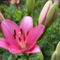 virág 013 Liliom