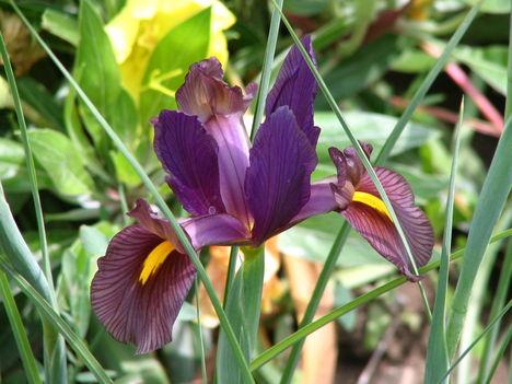 virág 014 Holland Írisz