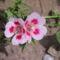 virág 015 Egynyári Azálea