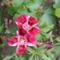 virág 016 Egynyári Azálea