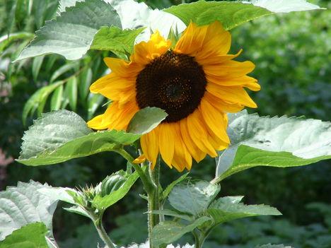 virág 017 Napraforgó