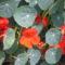 virág 026 Sarkantyúka