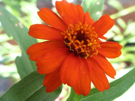virág 029 Balkon legényrózsám első virága
