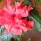 Kis hibiscus