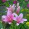virág 010 Pink Liliomom
