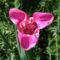 virág 012 Tigridia