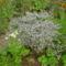 virág 017 Évelő sóvirág bokor