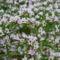 virág 019 Évelő sóvirág