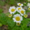 virág 020 Balzsamos aranyvirág