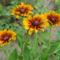virág 022 Kúpvirágok