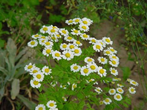 virág 026 Balzsamos aranyvirág bokor