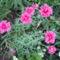 virág 029 Szegfű