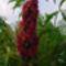 virág 031 Dísz ecetfa virága