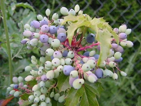 virág 037 Mahónia termése