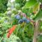 virág 038 Mahónia termése