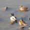 kacsák a váci Dunán