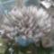 Leopárd kaktusz virágban