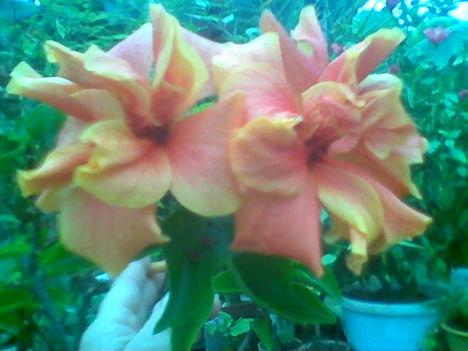 Növény birodalom 11 Sárga hibiszkusz