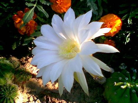 Növény birodalom 12 Gömb kaktusz nyári fényben