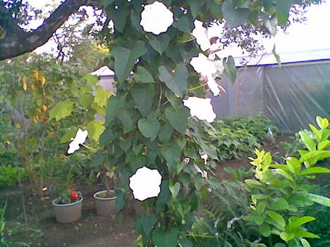 Növény birodalom 13 Holdfény virág