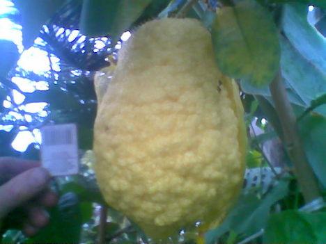 Növény birodalom 14 Óriás citrom (ez 2.6kg volt)