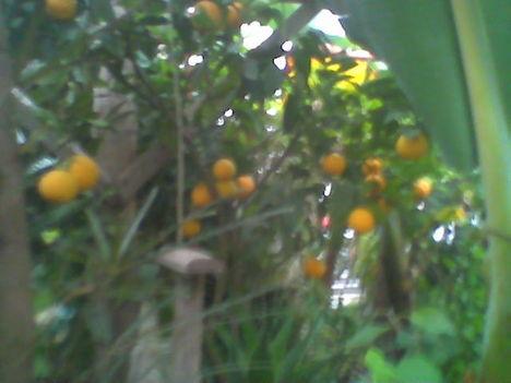 Növény birodalom 16 Beérett a narancs
