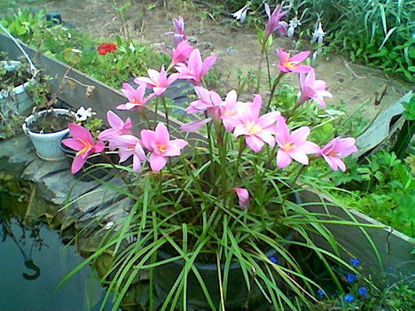 Növény birodalom 18 Zefír virág
