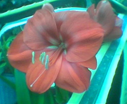 Növény birodalom 20 Amarillisz-Agávéval
