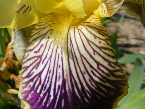 Lilacsíkos nőszirom