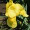Sárga nőszirom