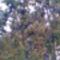nyaradremetei -besztercei szilva