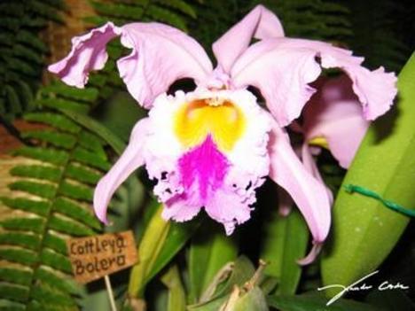 orchidea 9