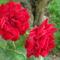 Rózsák , öreg mogyorófa árnyékában