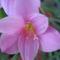 virág 005 Zefírvirág