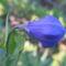 virág 006 Léggömbvirág bimbó