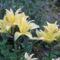 virág 007 Krémszínű liliomok