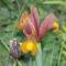 virág 010 Holland írisz