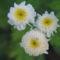 virág 011 Morzsavirág