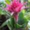 Lándzsarózsa (Aechmea)