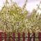 Megy fa virágzása