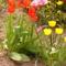 Tulipántok