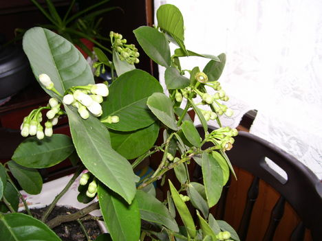 virágzó citromfa