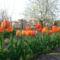 Tulipán erdő (nem lehet eltévedni)