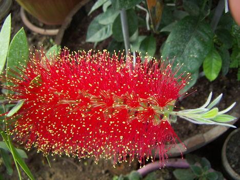 Kefe virág