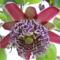 Marakuja (Golgota) virág