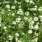 Margit virág