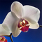 orchid_004